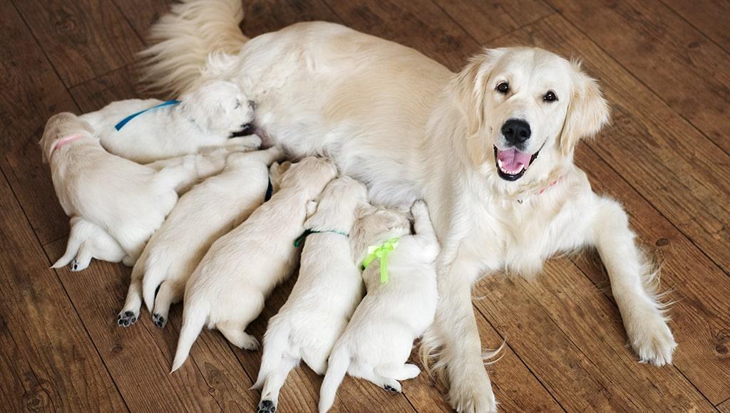 Харчування собаки під час лактаційного періоду