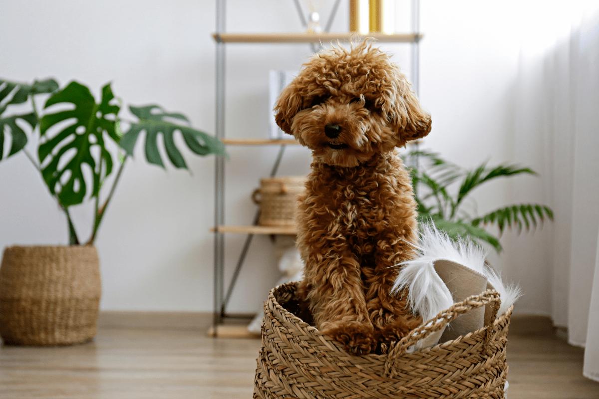 Особливості дизайнерських порід собак