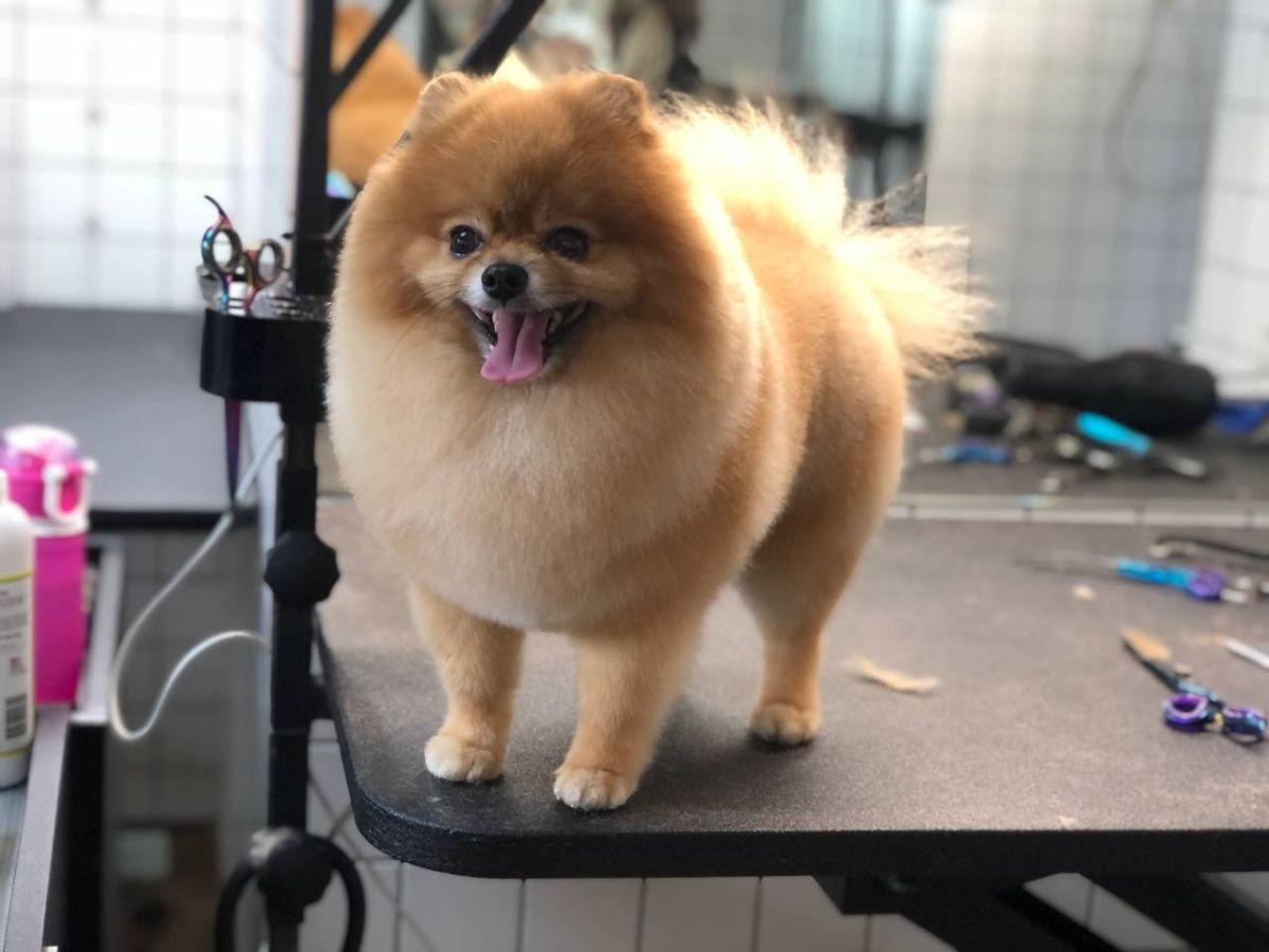 Стрижки шпицов Barber Pet
