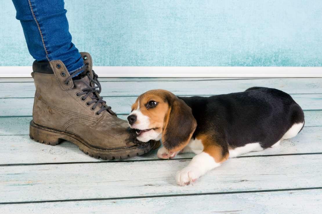 Щенок кусает ноги: как отучить?